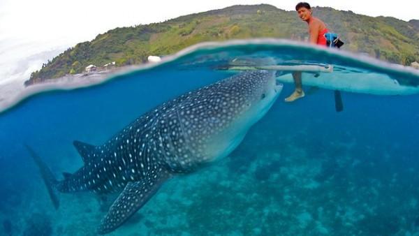 дайвинг на филиппинах китовая акула
