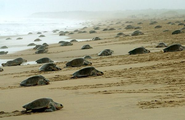 морджим пляж черепахи