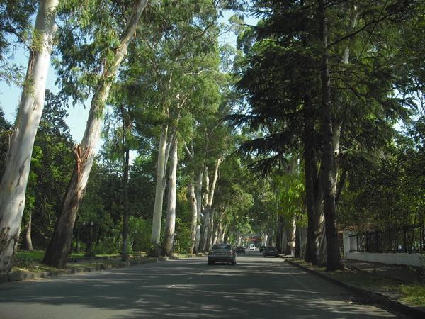 Абхазия Гагра Эвкалипты