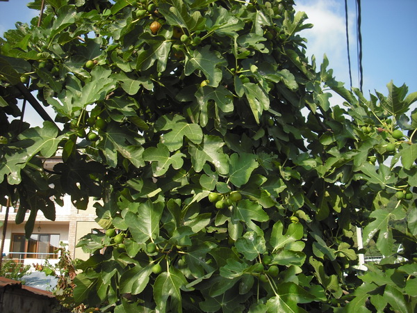 Абхазия Гагра инжир зелёный