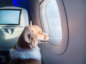 перевозка животных у авиакомпании s7 Сибирь с декабря 2020 место в салоне