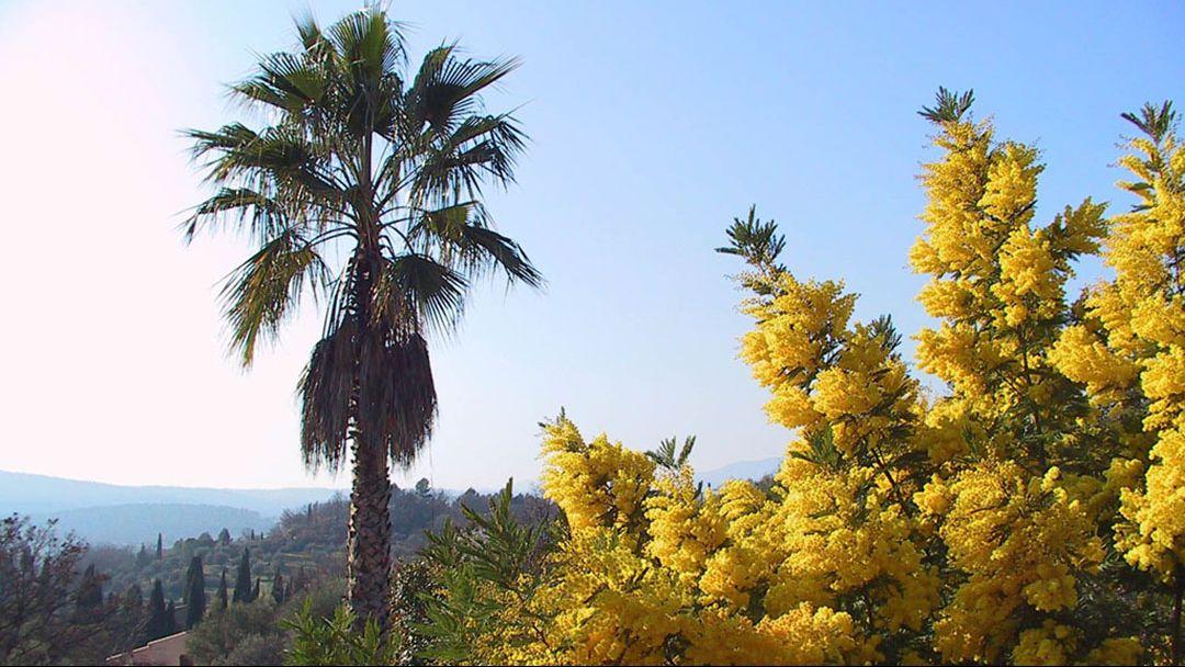 погода март Абхазия цветение мимозы